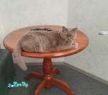 Британский кот отдаётся в дар в свой дом 3 года
