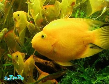 Аквариумные рыбки Попугай жёлтый
