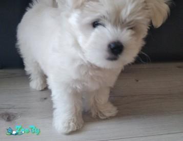 Продам щенка мальтийской болонки девочка