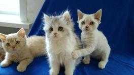 Котята Селкирк-рекс