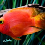 red-parrot-cichlid-1