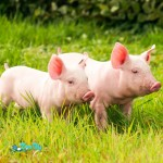 2017Animals___Pigs_Two_domestic_pink_pigs_are_walking_on_the_green_grass_117155_