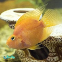 1200-515005440-freshwater-parrot-fish