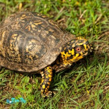 alabama-male-box-turtle-terrape