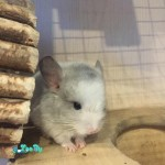 animals-rodents-chinchillas-271817