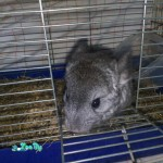 animals-rodents-chinchillas-1-1