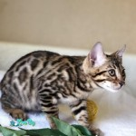 animals-cats-bengal-277740.800